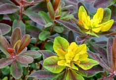 Bonfire Euphorbia has great coloring, deep purple, red and orange foliage with a touch of chartreuse turning red in the fall. Deer resistant and very ornamental. Shade Landscaping, Monrovia Plants, Growing Gardens, Plant Catalogs, Spring Blooms, Shrubs, House Plants, Outdoor Gardens, Landscape