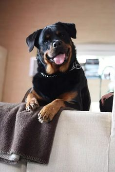 Rottweiler | via Tumblr on We Heart It