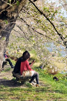 Photo of the Hanami celebrations in Kakunodate, Akita