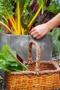 60 ätliga växter att odla i kruka på balkongen | Allt om Trädgård | på bilden Mangold