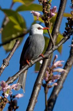 Birds in Thailand: White-headed Bulbul