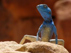 Sinaigamid Lizard (Agama sinaita) - ©Garysspace.    The Sinai Agama is an agamid lizard. It is common in deserts around the Red sea.    The length of the lizard is up to 25cm, tail up to two thirds of the  total length.   The limbs and tail are long and thin and provide good  climbing and running skills.  Unlike other Agama species, the third (middle) toe is the longest instead of the fourth.  Agama sinaita is active during daytime and feeds on insects and other arthropods and plants.