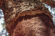Paratölgy (Quercus suber, Fagaceae) kérgétől megfosztott törzse (Turcsányi Gábor felvétele) Bread, Desserts, Food, Tailgate Desserts, Deserts, Brot, Essen, Postres, Baking