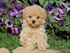 Bella, Havapoo puppy for sale in Christiana, Pa