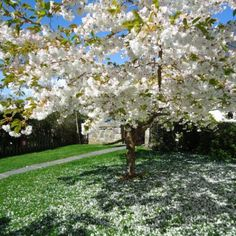 Croan Cottages, County Kilkenny. Cherry blossom outside the cottages http://www.organicholidays.co.uk/at/1741.htm