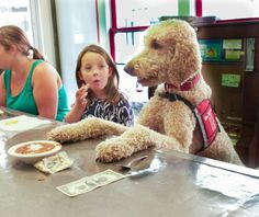 Standard Poodle 'Jazz' of Saint Francis Service Dogs. A working poodle.