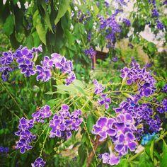 Garden Discoveries - Geisha Girl's  (06/01/2013) by dgfoley, via Flickr