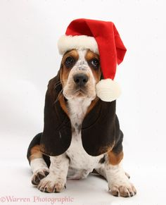 Christmas Basset Hound Puppy #Holiday #Dogs