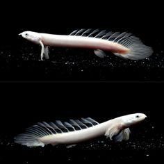 Longfin Polypterus senegalus