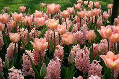 Tulips and hyacinth Flora Flowers, Tulips Flowers, Colorful Flowers, Tulips Garden, Planting Flowers, Beautiful Flowers Wallpapers, Pink Tulips, White Tulips, Flower Wallpaper