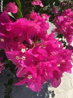 Different Seasons, Bougainvillea, Flower Pictures, Greek Islands, How To Look Pretty, Greece, Spring, Flowers, Plants