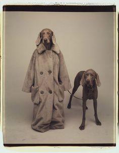 A grey dog dressed in a long human coat taking another grey dog on a walk with a leash.