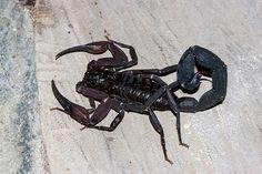 Escorpión amazónico brasileiro