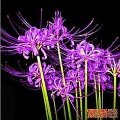 rare spider lily | Home & Garden > Yard, Garden & Outdoor Living > Plants, Seeds & Bulbs ...