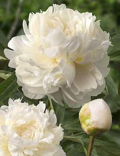 White and champagne peony.