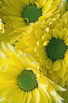 yellow daisy with green centers My Flower, Beautiful Flowers, Beautiful Life, Yellow Daisies, Mini Sunflowers, Gerbera Daisies, Daisy Flowers, Shades Of Yellow, Mellow Yellow