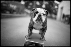 A bulldog skateboarding. That's our kind of dog. Funny Animal Photos, Funny Animal Videos, Dog Photos, Cute Puppies, Cute Dogs, Dogs And Puppies, Dog Love, Puppy Love, Mastiff Breeds