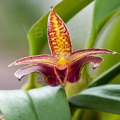 Bulbophyllum Wilmar Galaxy Star
