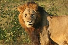 When Makhulu orders someone to die, they die the same day Wild Lion, Lion And Lioness, Tribe Of Judah, Black Lion, Wild Creatures, Kruger National Park, Hyena, Predator, Big Cats