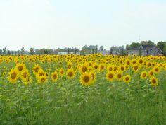 Sunflower field in Picton, Ontario..#indigo #perfectsummer