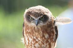 """Momento para uma coruja """"aborrecida"""" ou com um ar um tanto sério! São aves que tem hábitos noctívagos e voo silencioso devido à estrutura das suas penas, a"""