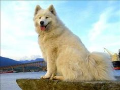 Akisha is an adoptable Samoyed Dog in Powell River, BC. Akisha is looking for a dog savvy owner who is willing to train her she has some dominant tendencies.Akisha would do best in a home with out cat...