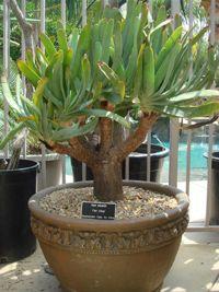 Aloe plicatilis Aloe, Asparagus, Cactus, Garden, Plants, Studs, Garten, Lawn And Garden, Gardens