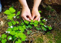Villiyrtit ja villivihannekset – vinkit keräämiseen ja käyttöön | Meillä kotona Fungi, Parsley, Diy And Crafts, Food And Drink, Garden, Plants, Vegetable Garden, Garten, Mushrooms