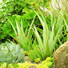 Four great agave combos    The thick spine-tipped leaves of Agave parryi add a touch of blue to the yellow-greens of sedums, aloes, and aeonium.