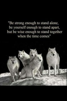 it's hard being a wolf between domestic dogs, but soon you'll return to the pack you can call your own.