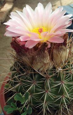 Notocactus roseoluteus.