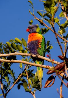 Picture of a rainbow lorikeet.