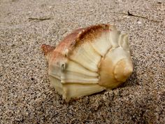 Blind Pass beach in Englewood, Florida, is one of Southwest Florida's best beaches. And a great place to find shells and shark teeth! This perfectly intact shell was the size of my foot.