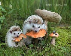 Hedgehogs enjoying their picnic.