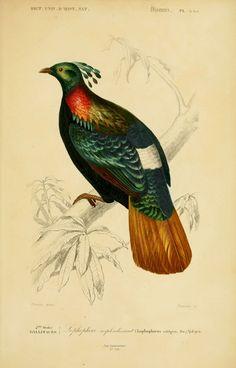 gravures couleur d'oiseaux - Gravure oiseau 0257 lophophore resplendissant - lophophorus refulgens - gallinace - Gravures, illustrations, dessins, images