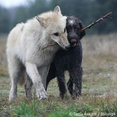 Wolf dog love, Yay for odd friendships