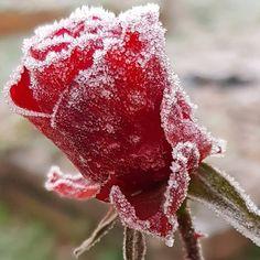 Encore quelques roses dans mon jardin pour ce début janvier. Et celle-ci me fait penser à une rose au sucre !! J'aime mettre quelques pétales dans une infusion. Et vous ? Sans Gluten Sans Lactose, Permaculture, Roses, Nature, Gardens, Gluten Free Cooking, Cooking Recipes, January, Sugar