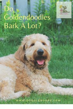 So you're thinking about getting a Goldendoodle puppy and you are wondering if they bark a lot. Go here now to read the entire article and get all the answers about the barking habits of Goldendoodles.