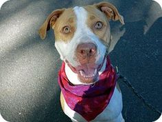 New York, NY - American Pit Bull Terrier Mix. Meet SKY, a dog for adoption. http://www.adoptapet.com/pet/13724755-new-york-new-york-american-pit-bull-terrier-mix