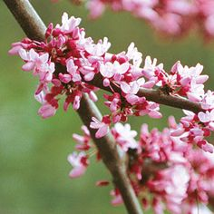 The Complete Guide to Redbuds - Southern Living