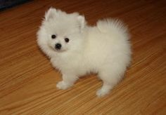 teacup pug puppy prices | Snow White teacup Pomeranian puppy cute home of London - 250 Price GBP ...