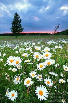 Wild Daisies my favorite flowers!