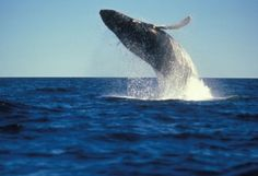 If Whale watching is on your bucket list don't miss an amazing season in Port Stephens NSW Australia this year!