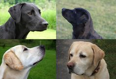 American lab vs English lab, do you know the differences?