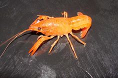 Orange Crayfish 'Procambarus clarkii'  Photographed by Dale Westaby USA