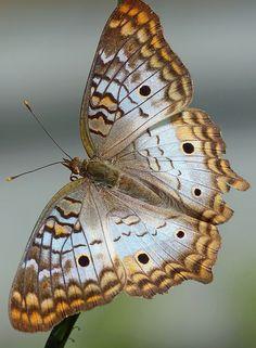 White Peacock (Anartia jatrophae)   Flickr - Photo Sharing!