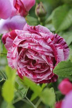 Ferdinand Picard. .Rose!