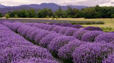 Photo about Purple landscape at a lavender farm in Sequim, Washington, Lavender Capitol USA. Image of harvest, countryside, farm - 5851767 Herb Farm, Herb Garden, Fruit Garden, Image Deco, Farm Business, Mother Earth News, Herb Seeds, Most Beautiful Flowers, Beautiful Places