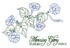 Photo : Morning Glory Designs Images