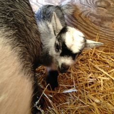 Baby Pygmy goat just born